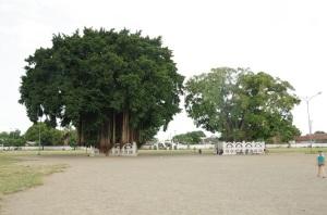 les 2 banians de l'entrée sud du Kraton
