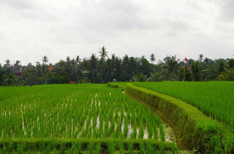 balade rizieres 10 août 110