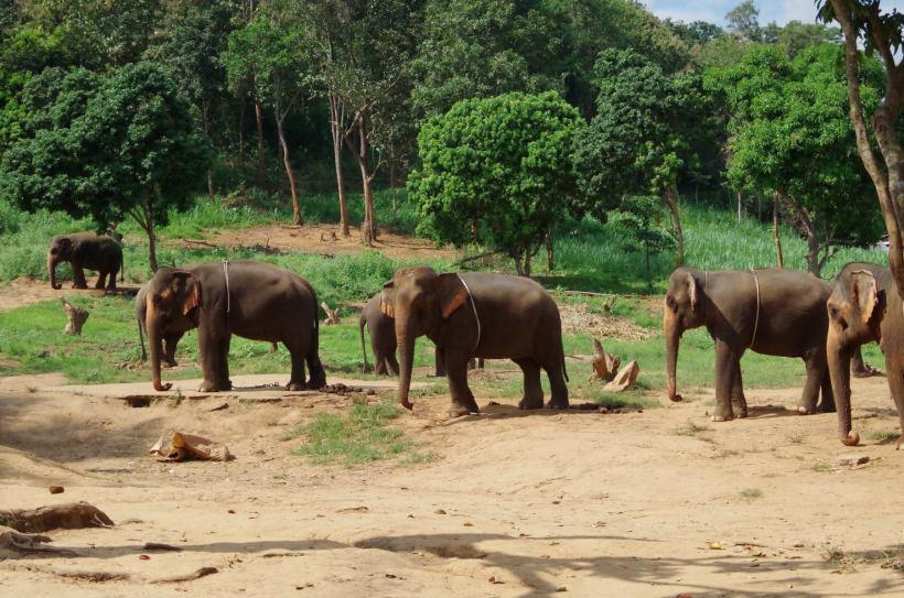 éléphants Chiang Mai 020