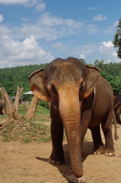 éléphants Chiang Mai 027