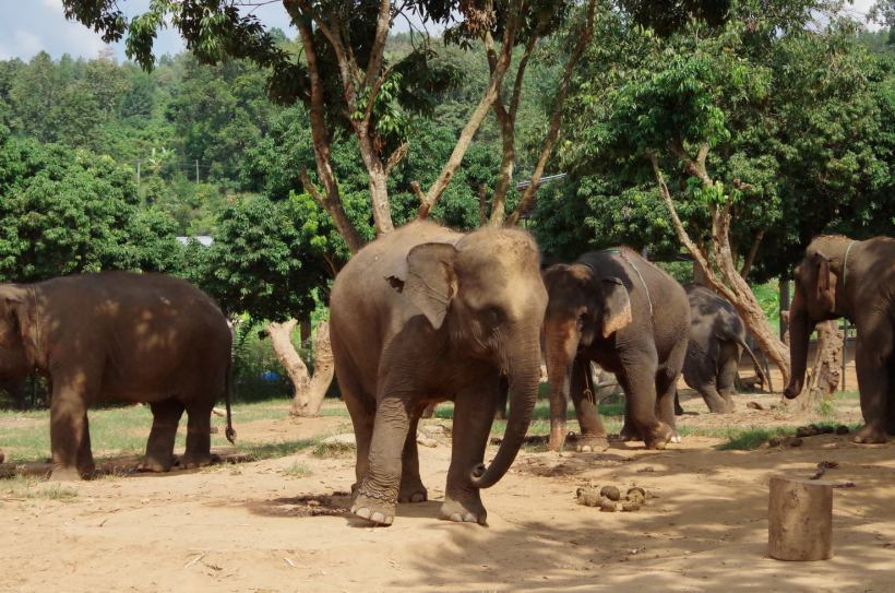 éléphants Chiang Mai 034