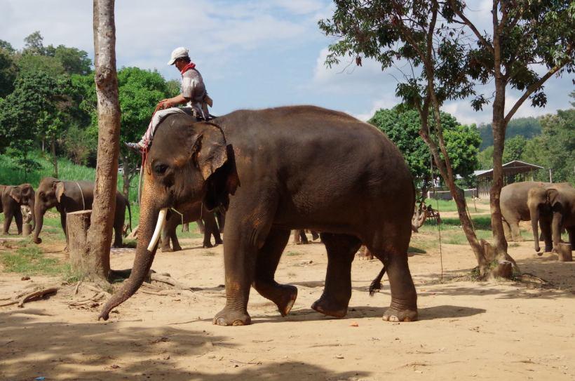 éléphants Chiang Mai 063