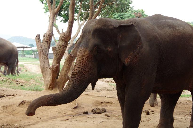 éléphants Chiang Mai 086